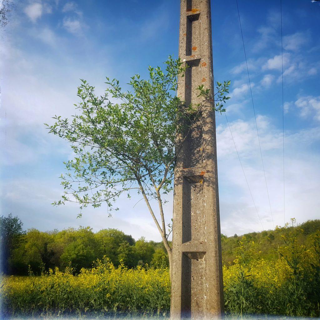 Photo d'un jeune arbuste caché derrière un pylone électrique au milieu d'un champ de colza.